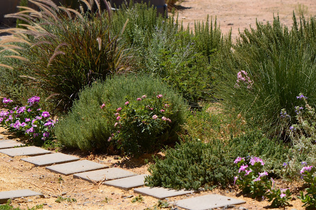 small sunny garden, tuesday view, desert garden, amy myers, lagerstroemia, crape myrtle