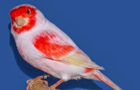 [COC Pets] Merawat Burung Dengan Teratur Versi Ane #AslinyaLo