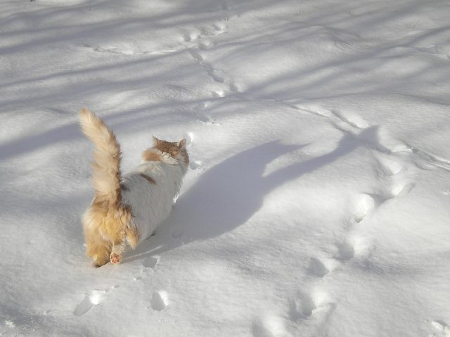 cat in snow, furry cat, winter