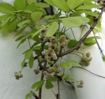 ゴヨウアケビ花