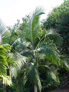 Palmiste de Cunningham - Archontophoenix cunninghamiana
