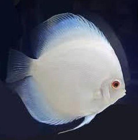 Discus Fish | A-Z List of 125 Rare Albino Animals [Pics]