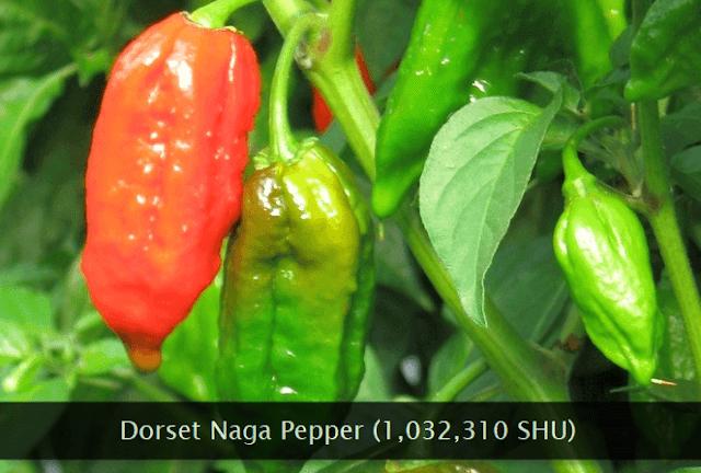 Dorset Naga chili pepper