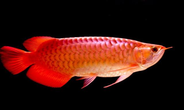 """ikan hias arwana"""