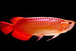 4 Alasan Kenapa Ikan Arwana Mahal
