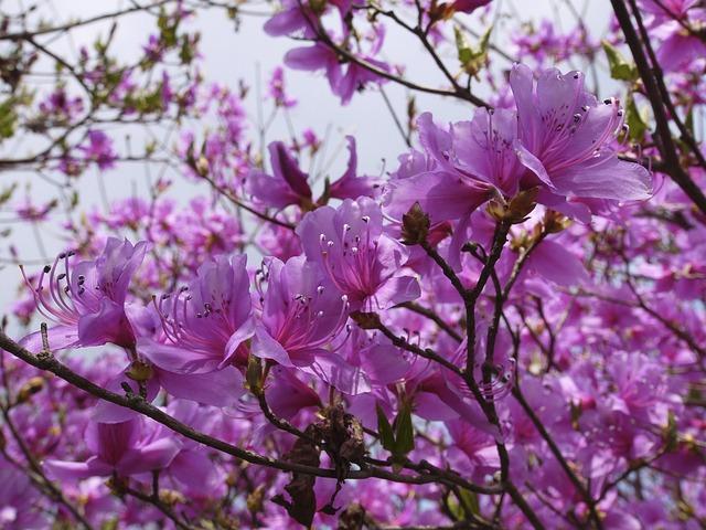 hoa do quyen dep