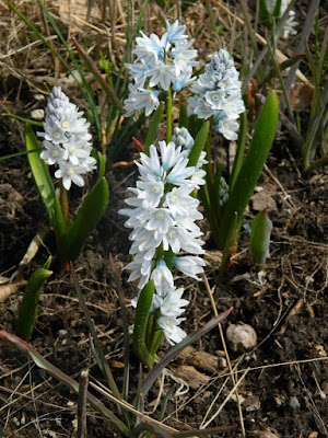 Pushkinia scilloides Striped Squill at Toronto Botanical Garden by garden muses-not another Toronto gardening blog