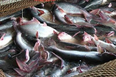 cara budidaya ikan air tawar yang paling menguntungkan, di lahan sempit,air tawar,