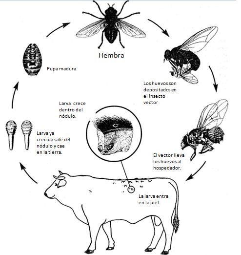 Detalles de como se reproduce la mosca y parásita al hospedador