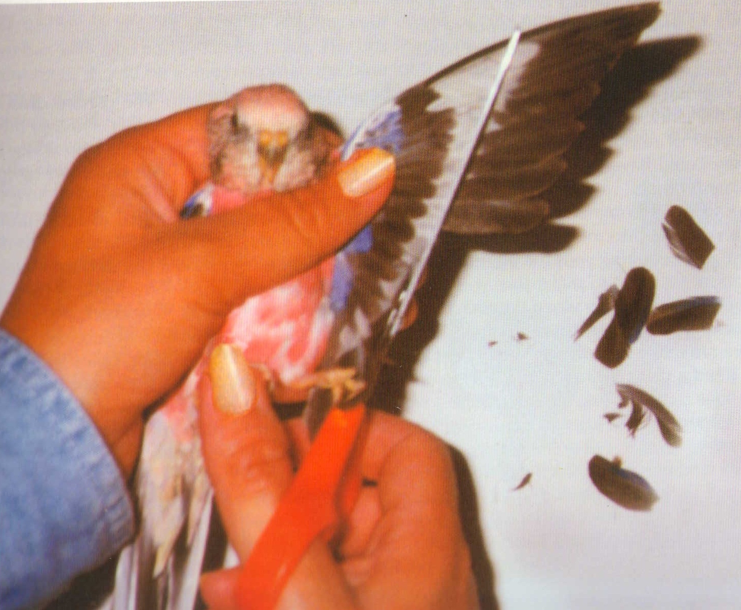 clipping duck wings diagram sony xplod cdx gt250mp wiring the splendid bourke bird blog wing question on