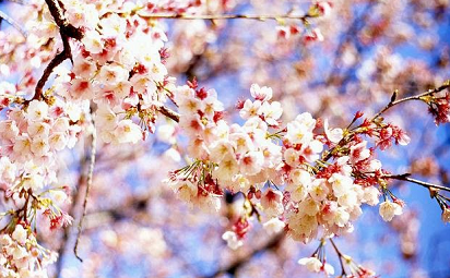 10 Nama Bunga dalam Bahasa Jepang yang Menarik untuk Diketahui