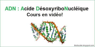 ADN, ou acide désoxyribonucléique cours en vidéo