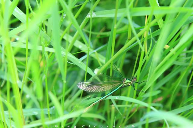 Calopterix éclatant femelle (Calopteryx splendens
