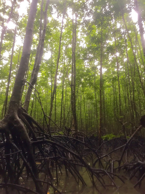 Mangrove trees, sea kayaking in Krabi, Thailand