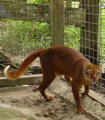 kucing merah asli indonesia