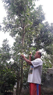 Alpukat Alligator Pear 082.137.433.114