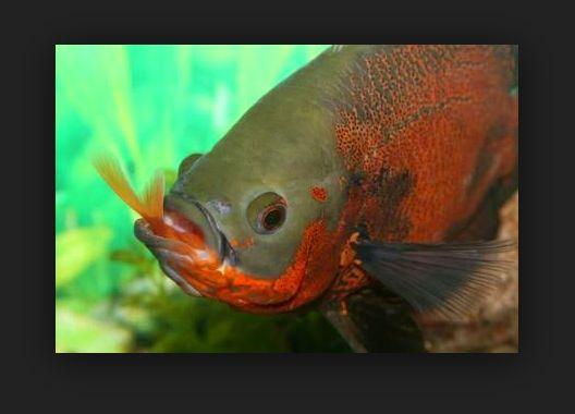 Makanan Ikan Oscar yang Baik