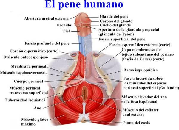 partes anatomicas del pene
