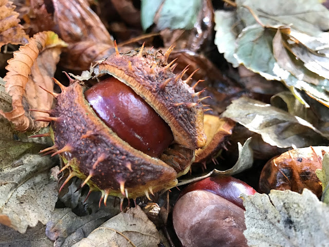 A chestnut cracked open showing the conker inside on top of brown leaves