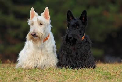 Perros Terriers