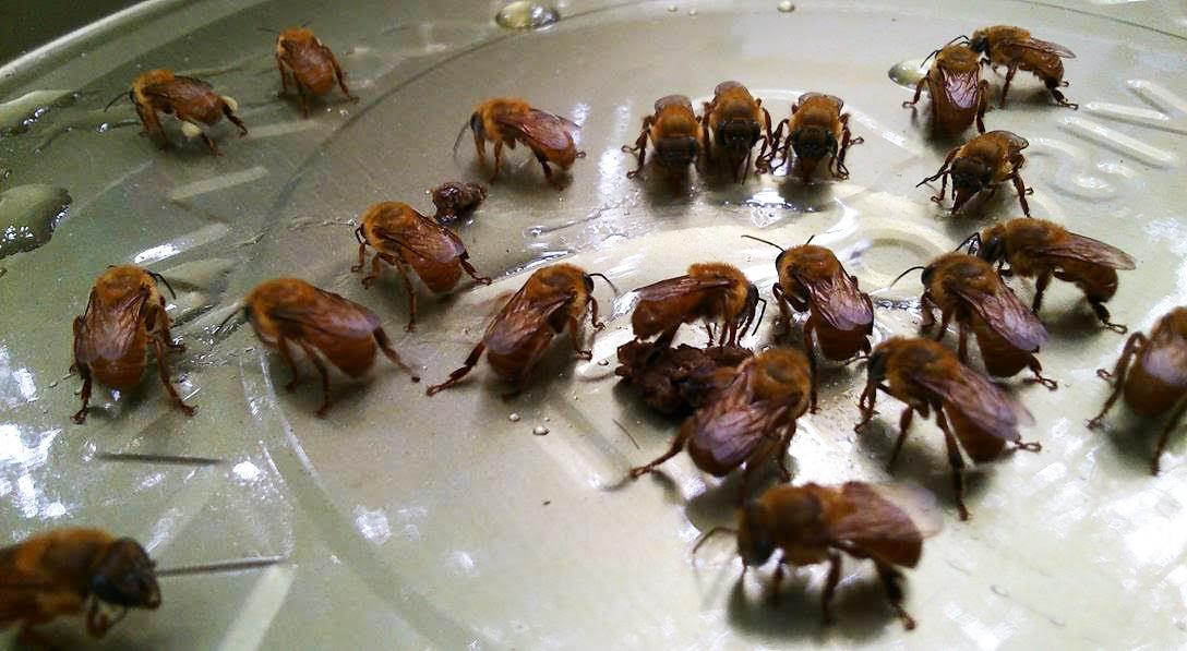 Abelhas Uruçú amarela colhendo mel que derramou em tampa durante 1ª edição do curso realizada em 2017. Foto: acervo Mitsiotis