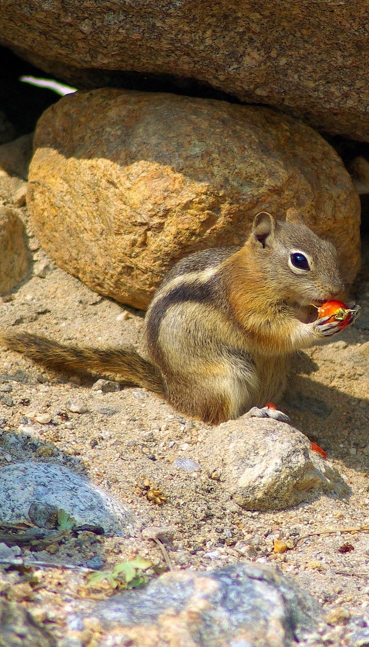 A golden mantled ground squirrel.