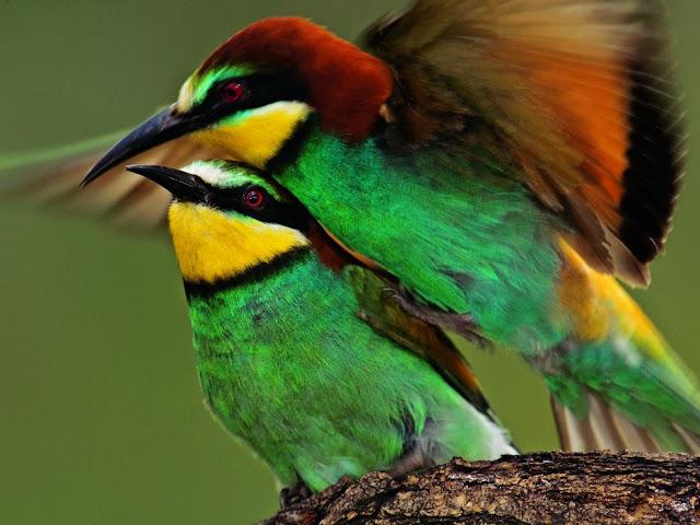 زوج من الطيور ذات الألوان الرائعة