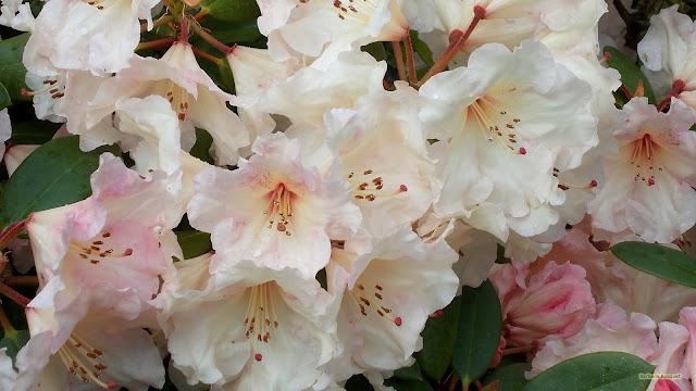 Rododendron in bloei met roze bloemen