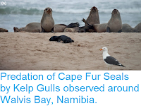 http://sciencythoughts.blogspot.com/2015/11/predation-of-cape-fur-seals-by-kelp.html