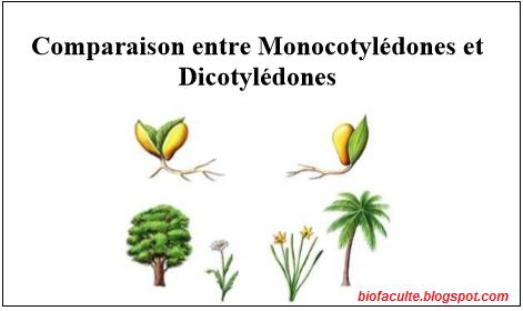 Comparaison entre Dicotylédones et Monocotylédones