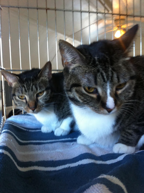 Two kitties who grew up in the shelter- CarmaPoodale