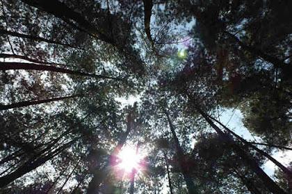Berapa Banyak Pohon Menghasilkan Oksigen?