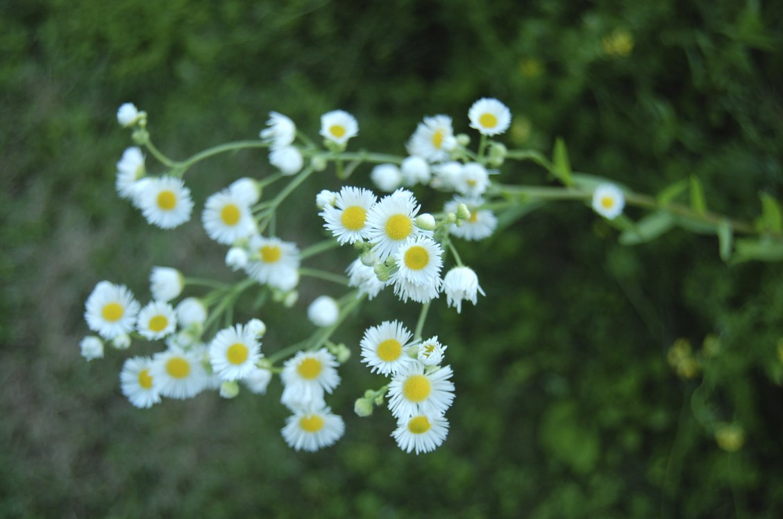 Weed that looks like a daisy o2 pilates small daisy like wildflower found in my weeds are very sorry proud izmirmasajfo