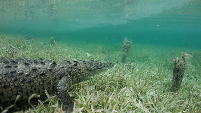Crocodile in seagrass