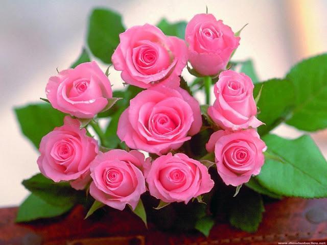 hoa hồng phấn đẹp nhất thế giới 2