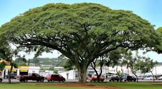 jenis pohon peneduh
