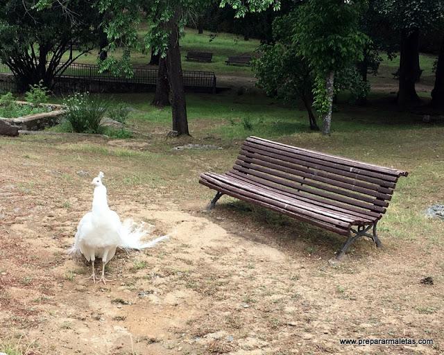 pavo real blanco en Plasencia