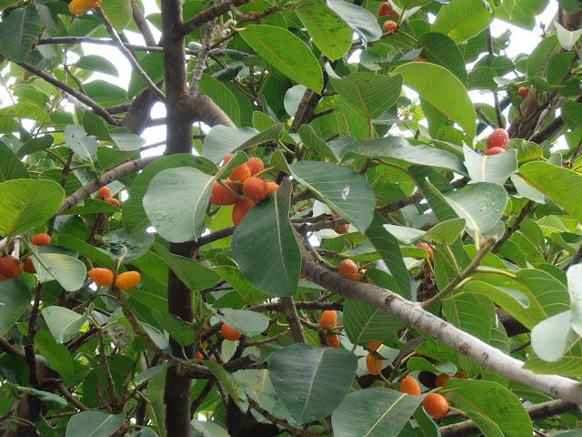 HIGUERA DE MYSORE: Ficus drupacea