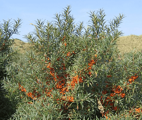 Sea buckthorn oil is highly appreciated in cosmetics because it slows down aging and the formation of wrinkles, stretch marks; it tightens skin, eliminates psoriasis, eczema