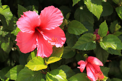 Pink Hibiscus Flower Photography by Mademoiselle Mermaid