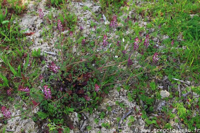 Fumeterre officinale (Fumaria officinalis) Pays de Fontainebleau