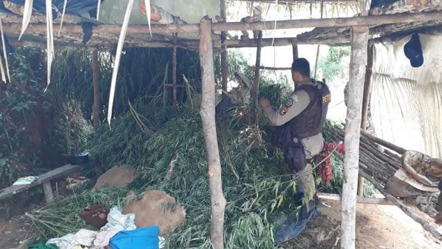 Com uso de drone, polícia descobre plantação com cinco mil pés de maconha em Gandu