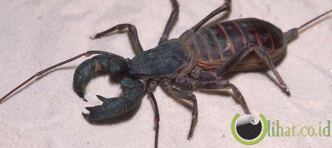 Whip Scorpion (Kalajengking Cambuk)