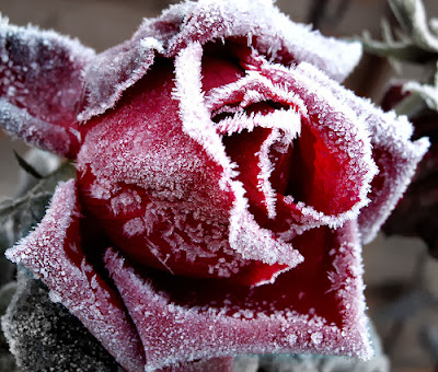 winter-red-rose-wallpaper