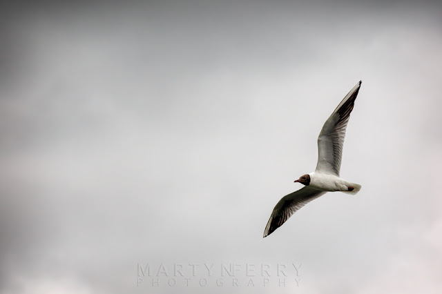 Flying Black-headed gull at RSPB Ouse Fen nature reserve