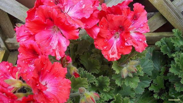 Bloembak met roze geraniums