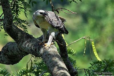 Águila coronada Stephanoaetus coronatus