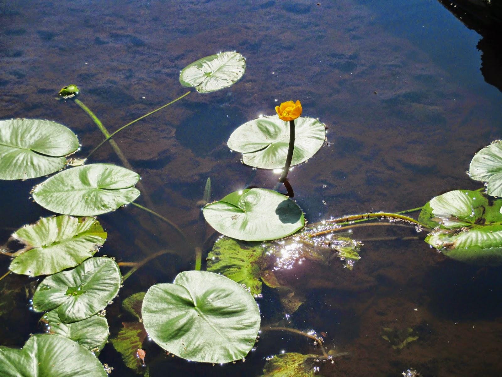 ulpukka, kesä, joki