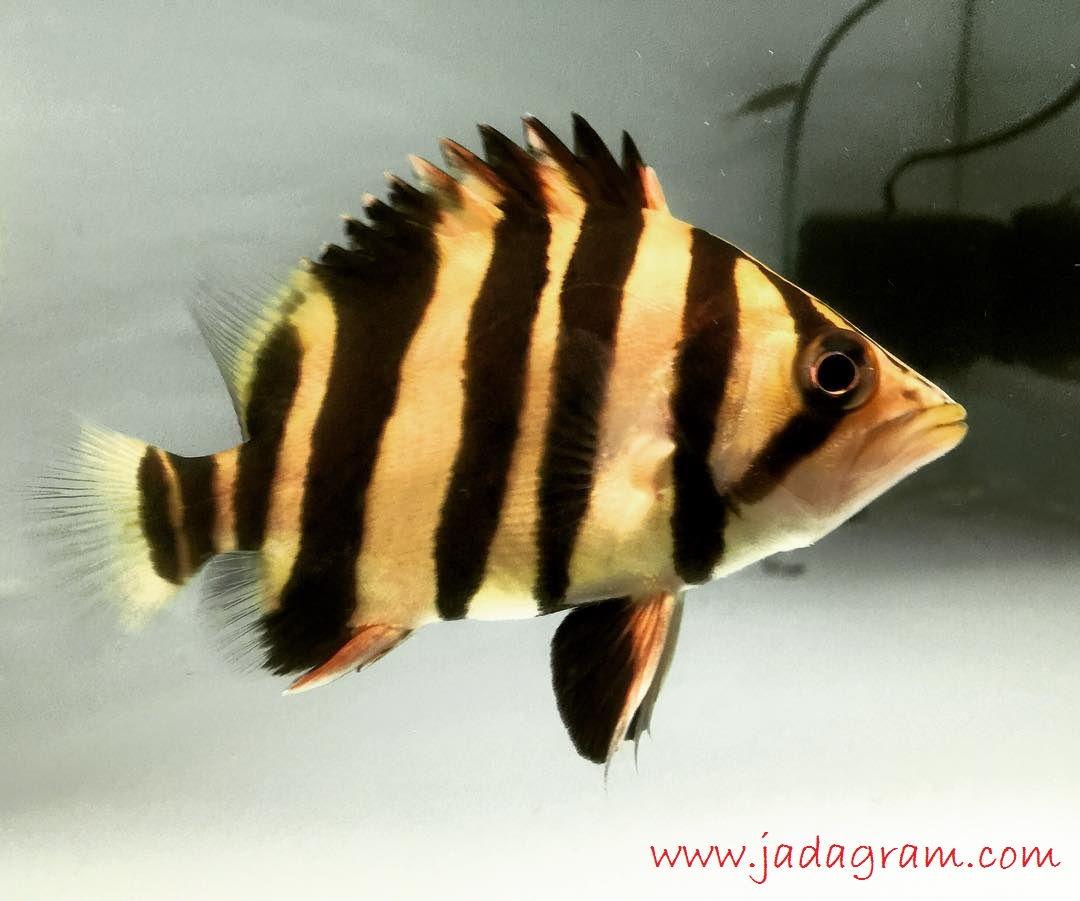 Gambar Jenis Ikan Hias Air Tawar Warna Belang Kuning Hitam