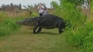 El video asombroso de un enorme cocodrilo en Florida